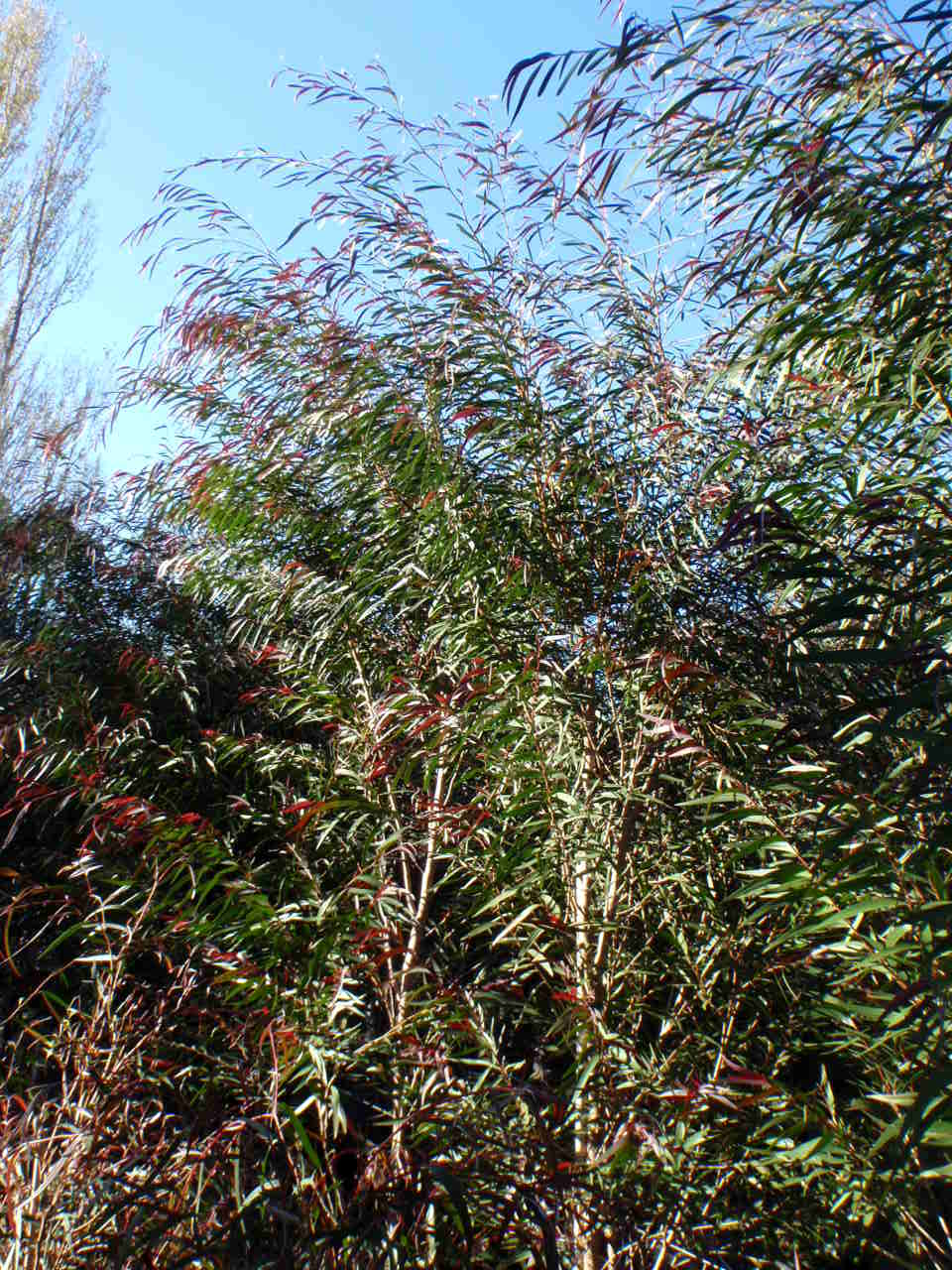 buy burgundy willow myrtle