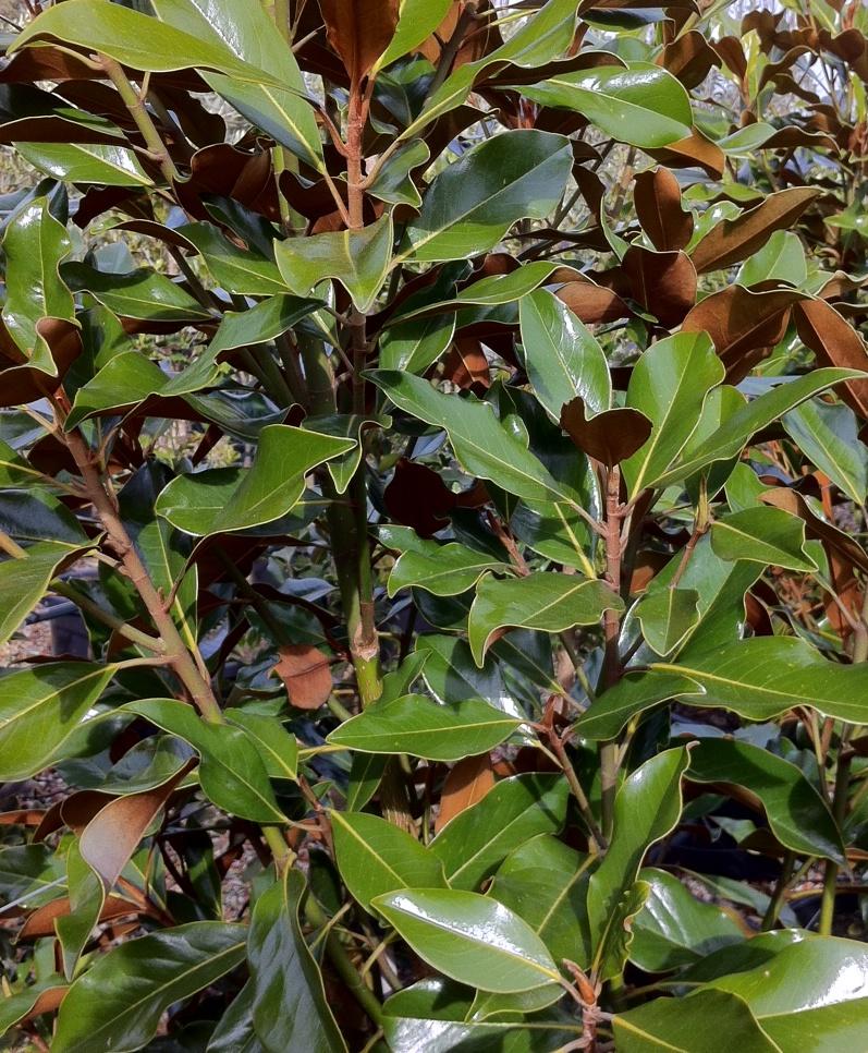 magnolia kay parris online