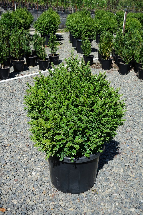 buy buxus sempervirens