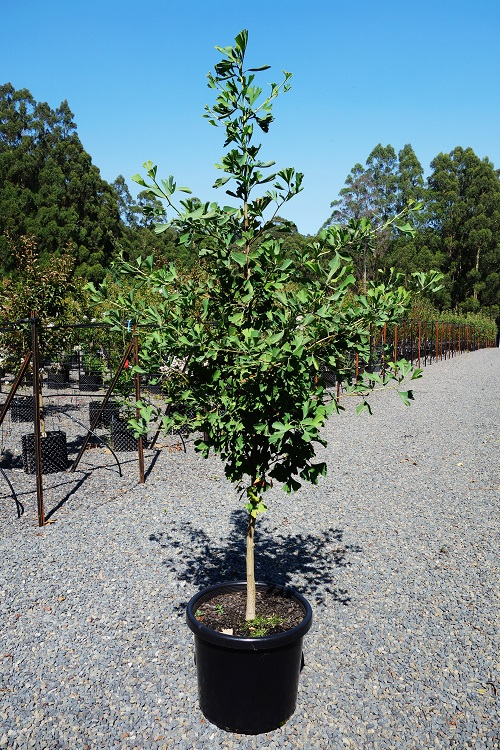 buy gingko biloba tree online