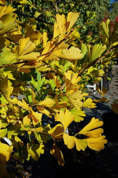 gingko biloba maidenhair tree online