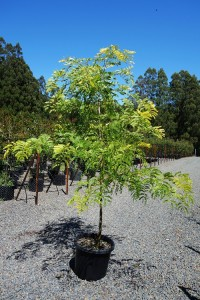 buy gleditsia triacanthos sunburst melbourne