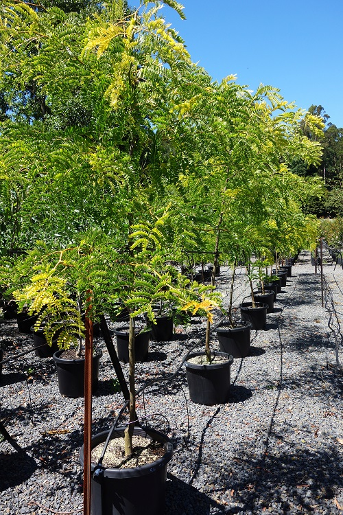buy gleditsia triacanthos sunburst