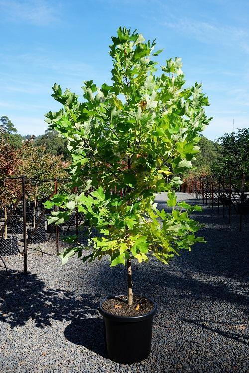buy upright tulip tree melbourne