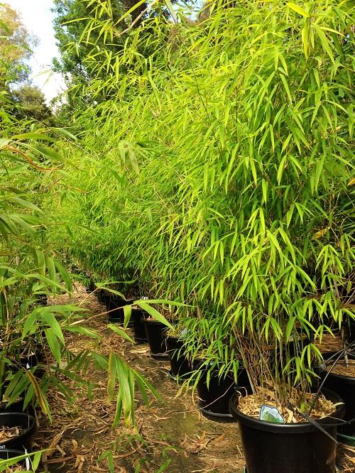 Bambusa 'Himilayan Weeping'