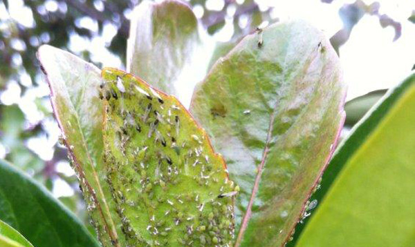 aphids_1