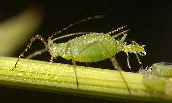 prevent aphid attacks