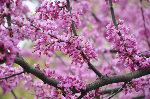 Cercis-blossom