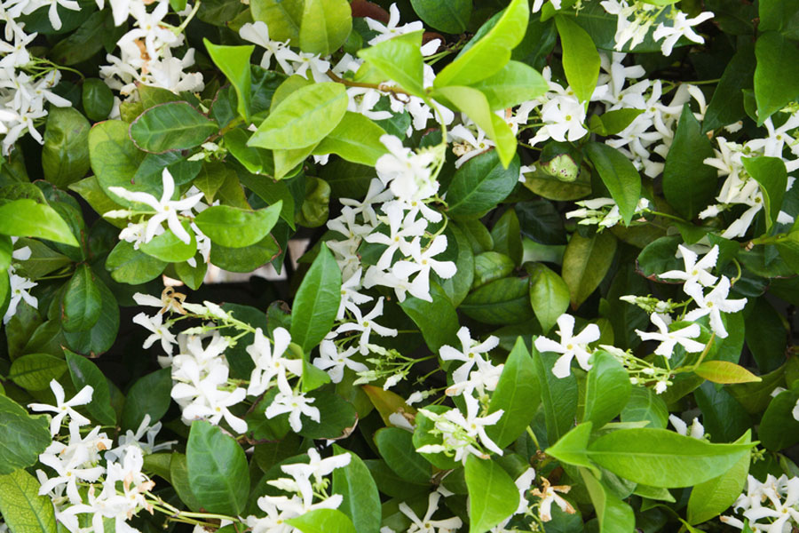 star-jasmine Fragrance Plants