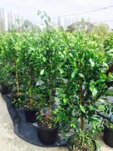 Kilby Tree Farm - Ficus Flash 20cm