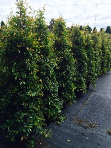Kilby Park Tree Farm Syzygium select