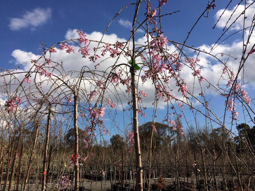 kilby park tree farm Prunus Pink Showers