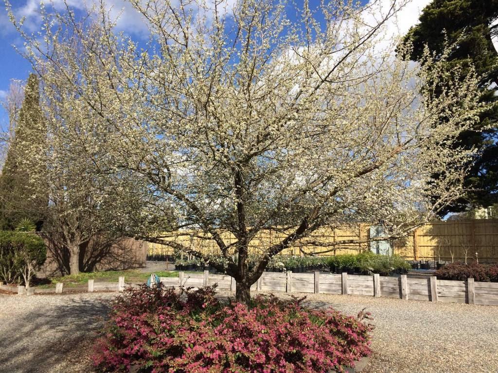 Kilby Park Tree Farm pyrus nuvalis