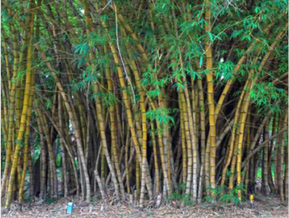 Everything You Need To Know About Bamboo Plants