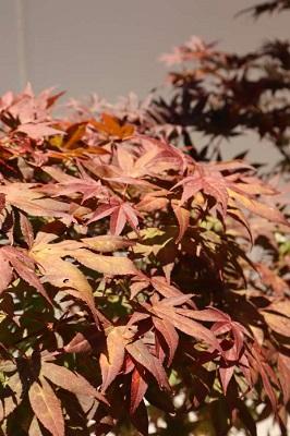 buy acer palmatum atropurpureum melbourne