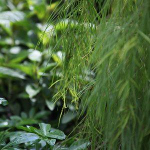 Acacia cognata Green Screen
