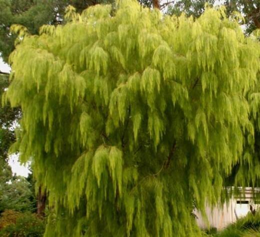 Acacia Cognata Lime Magik Kilby Park Tree Farm