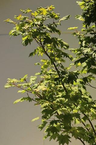buy acer japonicum vitifolium