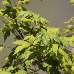 acer japonicum vitifolium melbourne