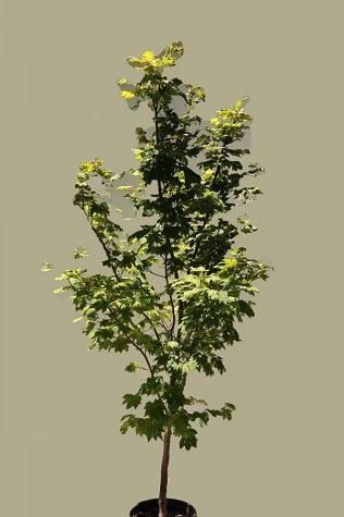 acer japonicum vitifolium for sale