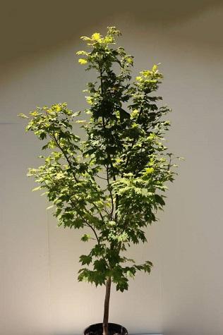 acer japonicum vitifolium online sale
