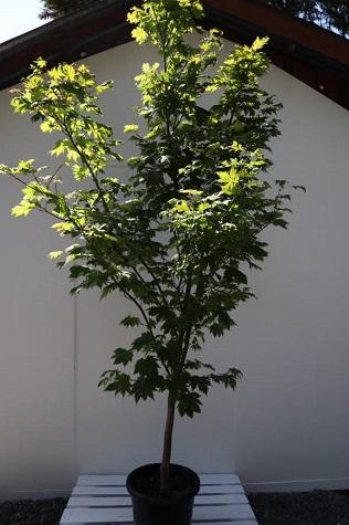 acer japonicum vitifolium online