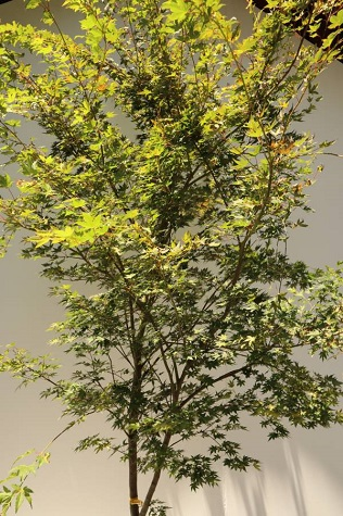 acer palmatum melbourne