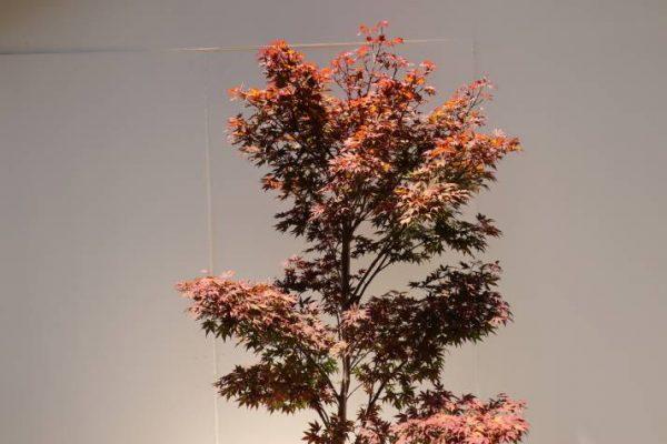 buy acer palmatum atropurpureum