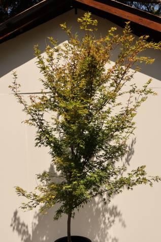 acer palmatum senkaki melbourne