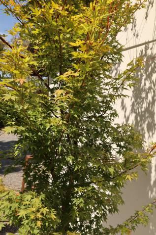 acer palmatum senkaki online