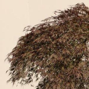 Acer palmatum dssectum inaba shidare'