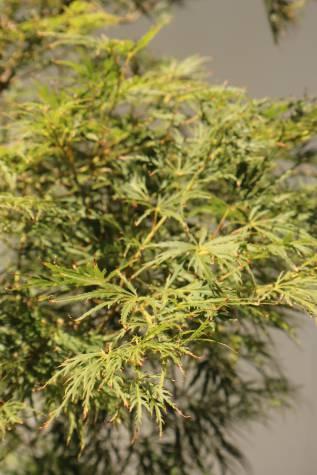 acer palmatum dissectum virdis for sale