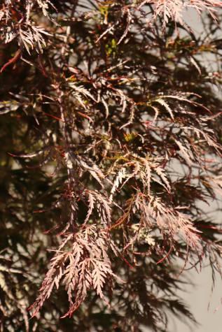 acer palmatum dissectum atropurpureum online