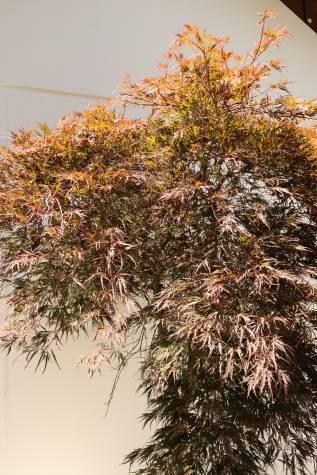 Buy acer palmatum dissectum atropurpureum online