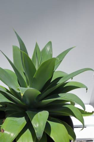 agave attenuata online