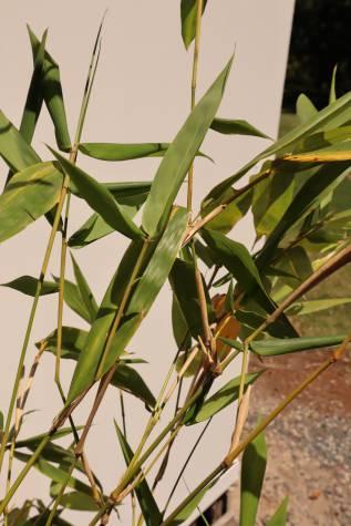 buy bambusa oldhamii online