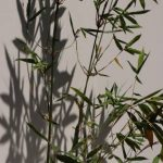 bambusa oldhamii online