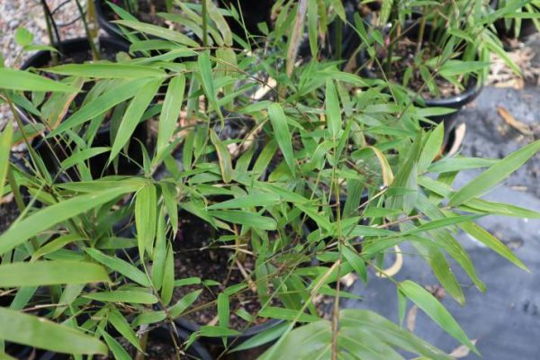bambusa textilis gracilis plant