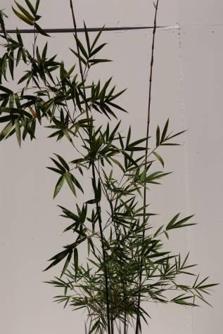 buy bambusa textilis gracillis online