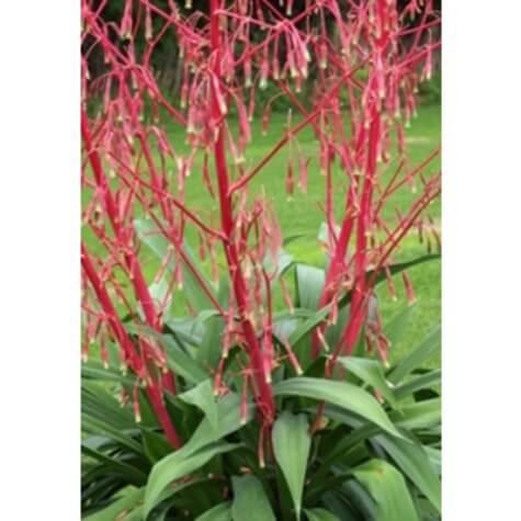 beschorneria septentrionalis false agave