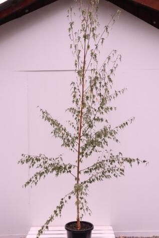 betula pendula dalicarlica for sale