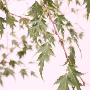 betula pendula dalecarlica