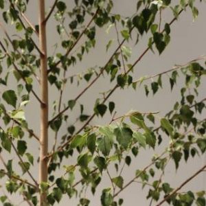 betula pendula moss white