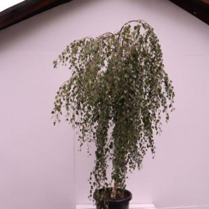 betula youngii std weeper Weeping Trees Types
