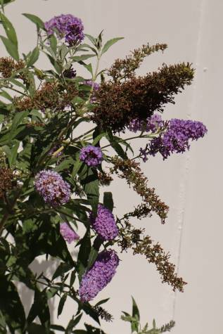 buddleja davidii buzz blue for sale