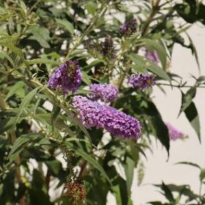 buddleja davidii buzz sky blue