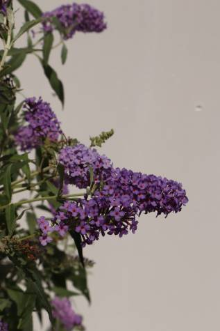 Buddleja davidii 'Buzz Blue'