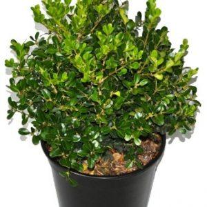 buxus japonica