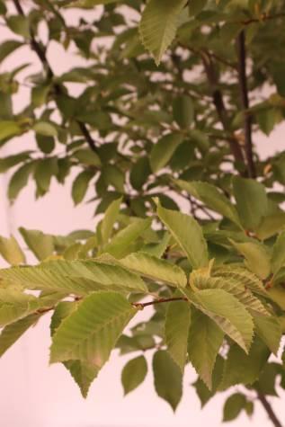 buy carpinus betulus fastigiata online