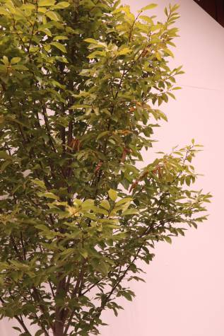 carpinus betulus fastigiata online